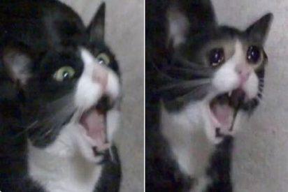 Muere Inkky, la protagonista del icónico meme de la gata que grita