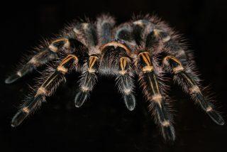 ¿Tarántulas voladoras?: Una rara especie aterroriza aMéxico y EEUU