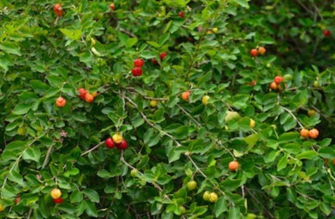 arbusto de acerola