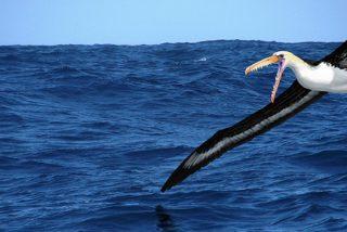 Así eran las aves gigantes que surcaban los océanos australes hace 50 millones de años