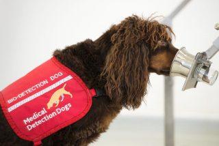 ¿Perros rastreadores de Covid?: Detectan el coronavirus en diez segundos hasta cinco días antes de que empiecen los síntomas
