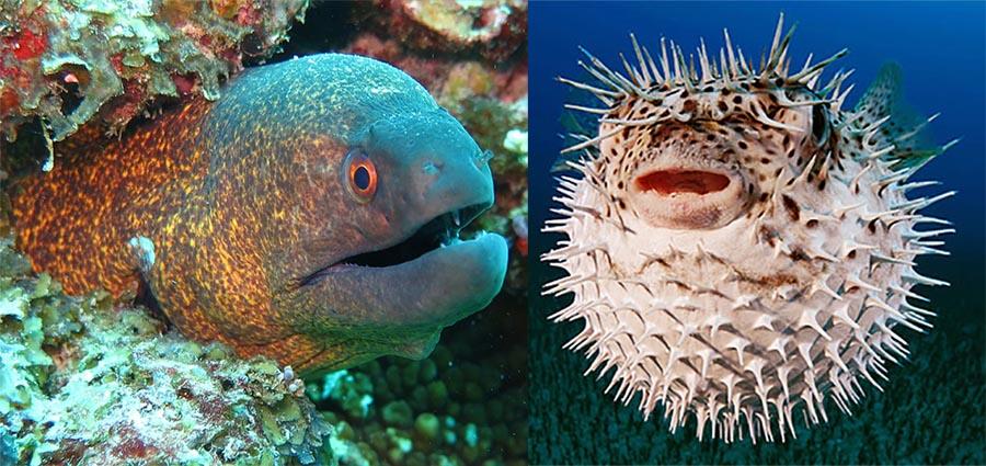 Muere una anguila de más de un metro al intentar tragarse un pez globo: ¡Se infló en su boca hasta asfixiarla!