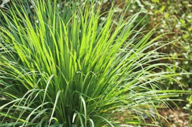 Limoncillo o lemongrass:
