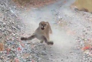 Un puma salvaje lo acecha por más de 6 minutos pero una técnica de supervivencia lo salva de un terrible ataque