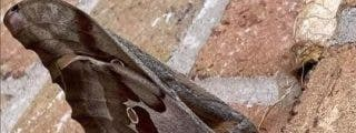 ¿Tarántulas voladoras?: Una rara especie tiene aterrorizado aMéxico y Estados Unido