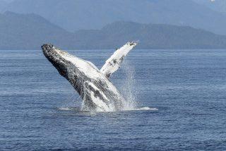 La ballena jorobada se traga y escupe a las dos aterradas kayakistas