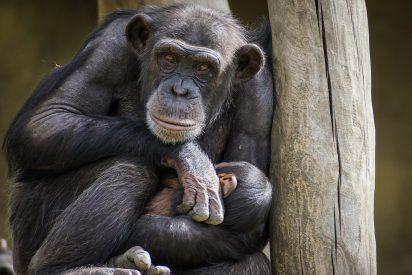 Matan a tiros a los dos chimpancés que escaparon de su recinto en un zoológico de Holanda