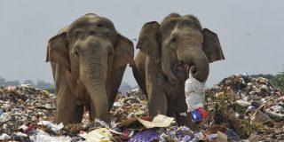 La terrorífica escena de la manada de elefantes comiendo plástico en un gigantesco vertedero de basura