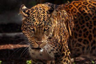 El caimán se despista un poco y el jaguar se lo merienda
