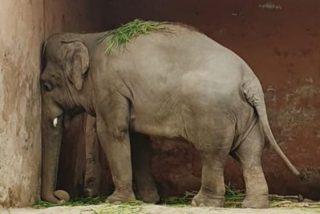 Liberan a 'Kaavan, el elefante triste protegido por la cantante Cher que vivió encerrado 35 años en un zoo