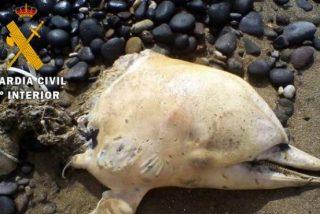 Siguen apareciendo delfines marcados a cuchillo o incluso decapitados, en la costa de Almeria