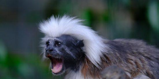 Insertan genes humanos en fetos de monos titíes y logran que les aumente el cerebro