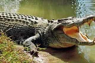 Los caimanes, capaces de regenerar sus colas como los pequeños reptiles