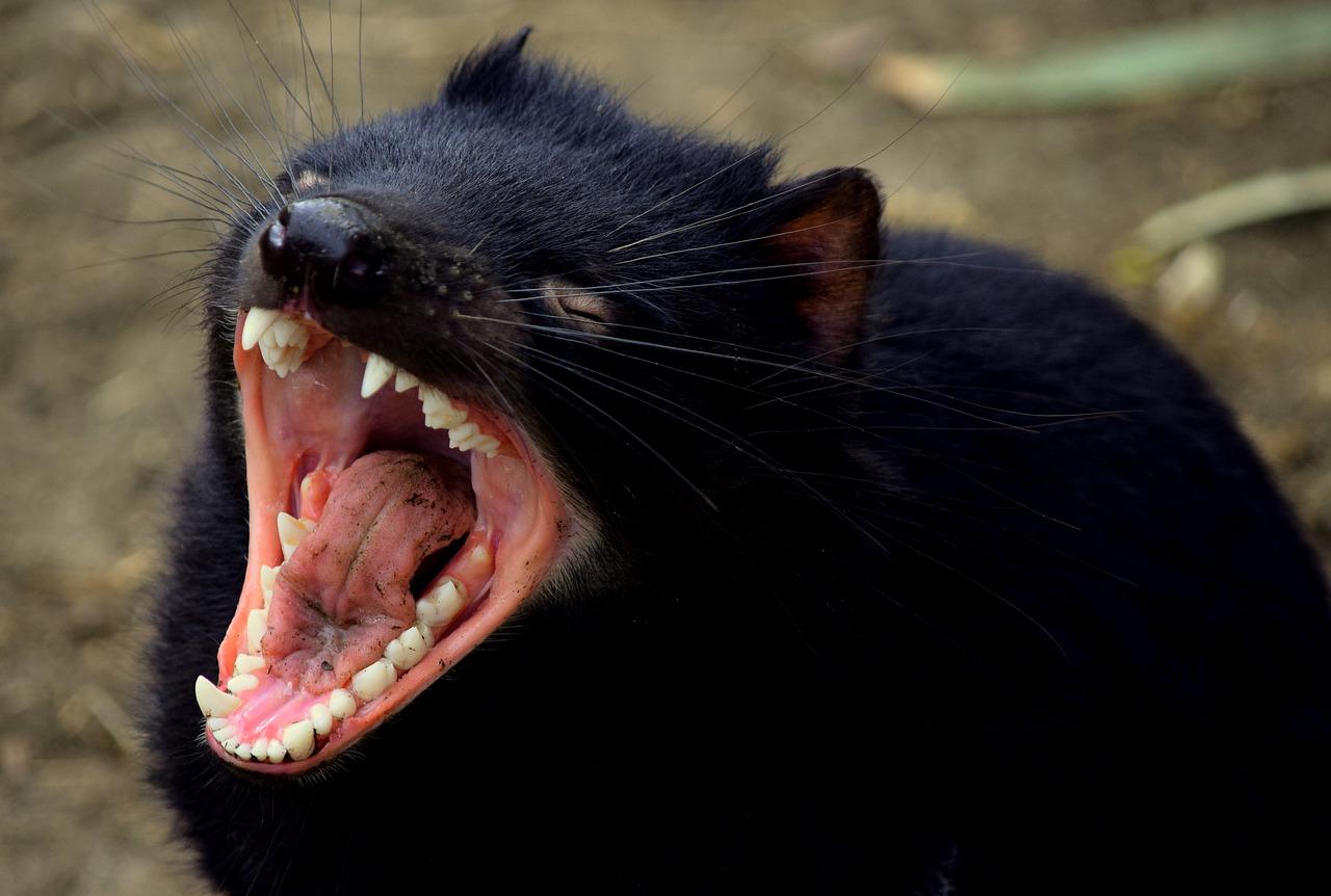 Tras 3.000 años, el demonio de Tasmania reaparece vivo y coleando en Australia