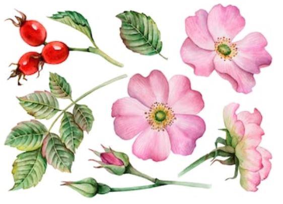 rosa mosqaueta o rosehip flores, fruto y hojas