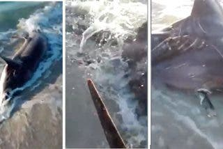 Hallan un tiburón zorro de más de cuatro metros apuñalado en el corazón por un pez espada