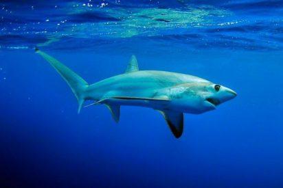 Un tiburón muere apuñalado en el corazón por un pez espada