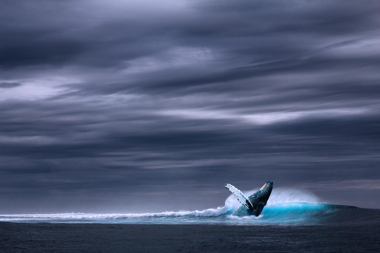 Descubren una nueva población de ballena azul en el Índico occidental