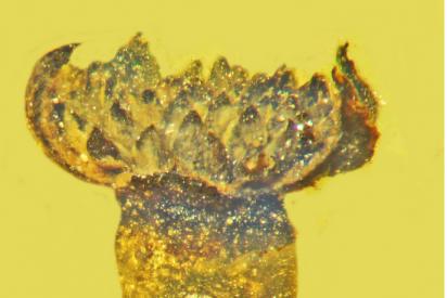 Encuentran intacta una flor de cien millones de años, preservada en ámbar birmano