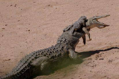 Este es el momento exacto en que un cocodrilo caníbal devora a un colega más joven