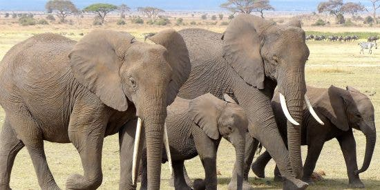 La furia de los elefantes cuando la manada de licaones, los perros salvajes de Africa, acecha a sus crías