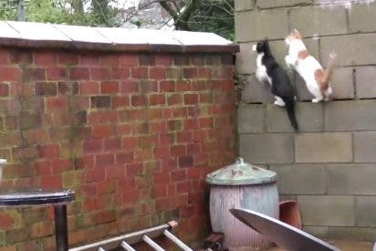 Estos dos gatos conquistan la Red con un 'parkour' impecablemente sincronizado