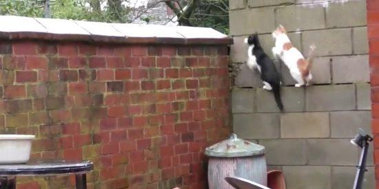 Estos dos gatos conquistan la Red con un 'parkour' impecablemente sincronizado