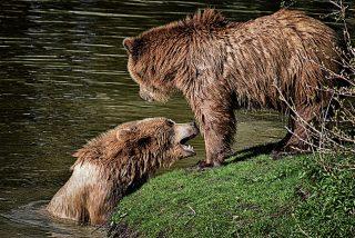 Balance trágico de un domingo de caza de jabalíes: dos hembras de oso acribilladas