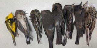 Resuelven el misterio de la muerte masiva de pájaros en el sur de EEUU