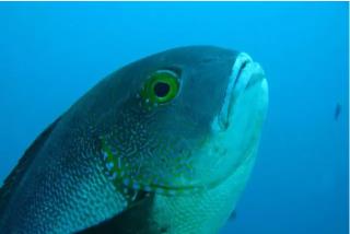 Un pargo de 81 años, el pez de coral más longevo de la historia