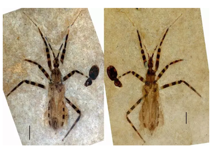 Un grupo de científicos hallan el fósil de un insecto asesino