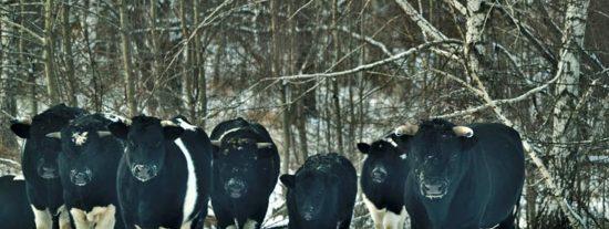 Las vacas abandonadas en Chernóbil se organizan, reproducen y actúan como animales salvajes