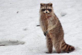 Rescatan a este mapache atascado en medio de un lago congelado y el desagradecido se lía a mordiscos