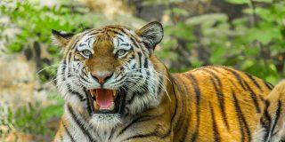 El brutal enfrentamiento entre dos tigres de Bengala