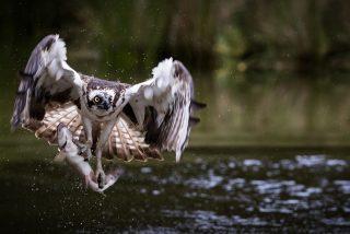 Se lanza al mar y salva a un águila pescadora de morir enredada en un sedal