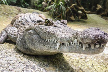 Revisa la cámara de vigilancia de su casa para ver si hay ladrones y encuentra este cocodrilo en su piscina