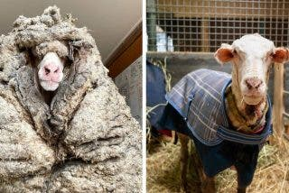 Esta oveja, en estado salvaje, vagaba con 35 kilos de lana encima y estaba al borde de la muerte