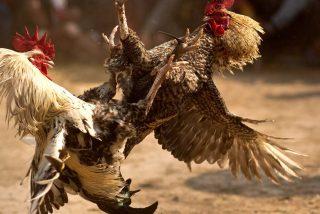 El gallo de pelea mata a su dueño de un espolonazo en la ingle
