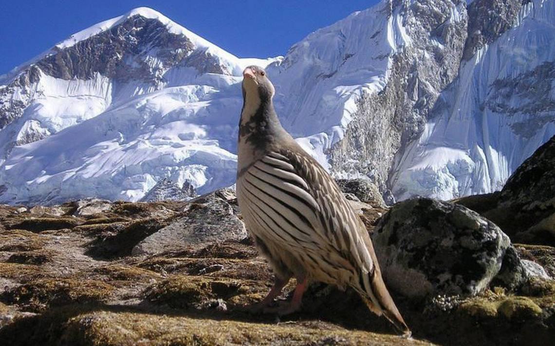 Cómo se protegen las aves de alta montaña del frío extremo