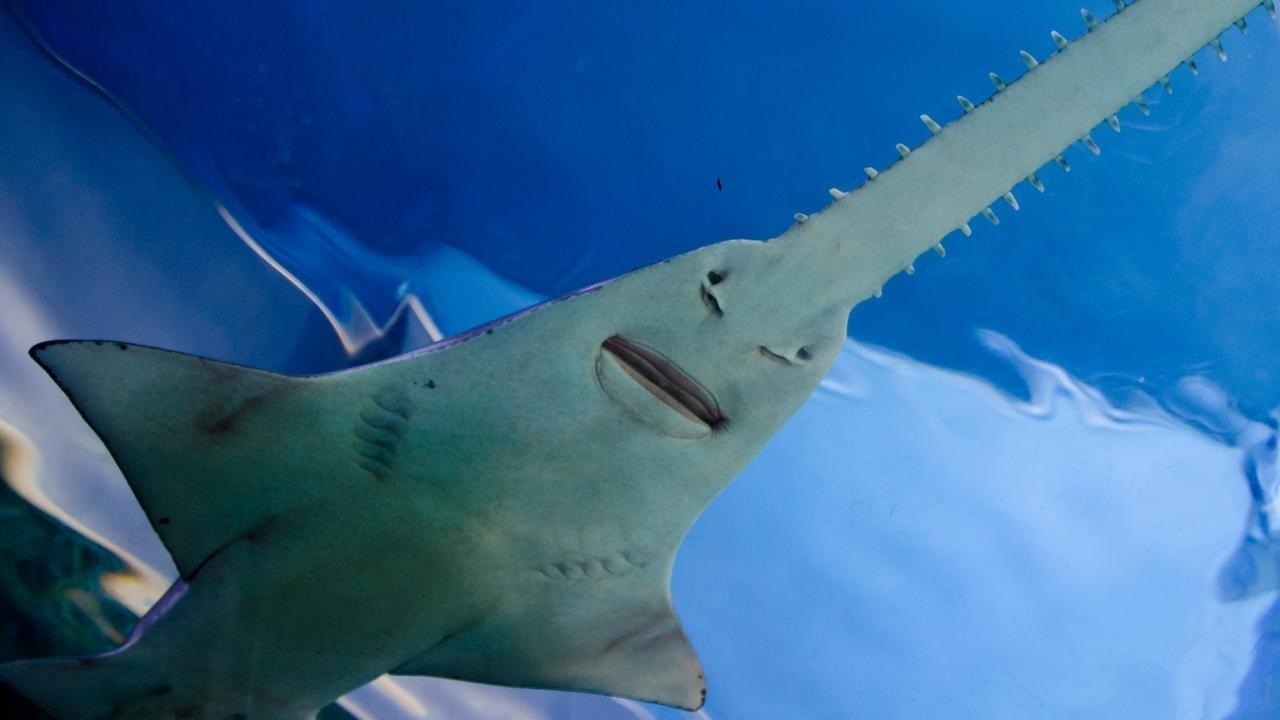 ¿Por qué el pez sierra se enfrenta a la extinción?