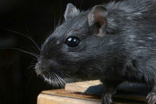 El 2021 sigue cebándose con Madrid: ratas gigantes trepadoras que pueden enfrentarse a humanos