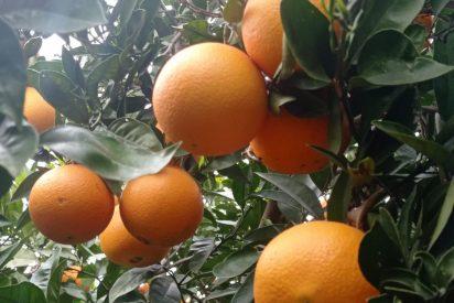 Naranjas la Torre regala cajas de 5kg de naranjas por su XVI aniversario