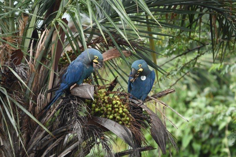 Loro Parque Fundación introduce más ejemplares de guacamayo de Lear en su medio natural en Brasil