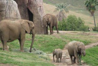 El irresponsable entra en el recinto de elefantes a hacerse un selfie con su hija de 2 años y escapan de milagro