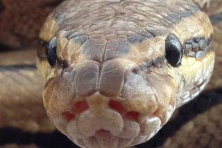En esta granja inflan con aire comprimido a serpientes pitón, hasta matarlas, para vender su piel a las casas de moda