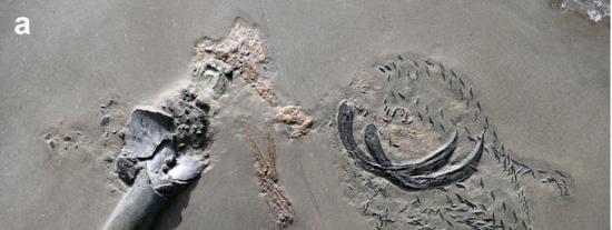El fósil más salvaje del Jurásico: Un calamar jurásico matado mientras comía