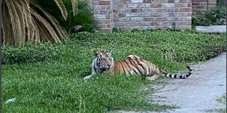 Un tigre deambula por un vecindario de Houston y desata el pánico