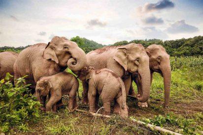 Esta manada de elefantes lleva 6 meses viajando por China, cruzando carreteras y ciudades