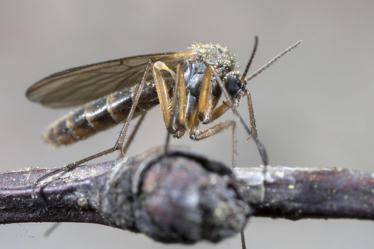 Oxitec, una empresa de Bill Gates, suelta el primer lote de mosquitos 'autodestructivos' modificados genéticamente