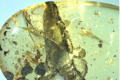Al estilo de 'Jurassic Park': Encuentran un caracol del Cretácico y sus cinco crías preservados en ámbar